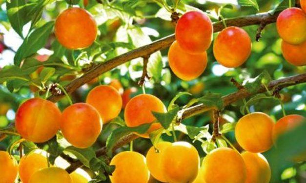 Les fruits du verger communal en été 2020